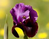 Iris Mariae