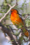 Tanagers, Blackbirds, Orioles