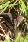 Mouse in the Grass