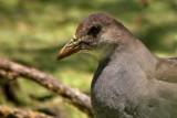 Common Moorhen (Immature)