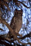 Milky Eagle-Owl