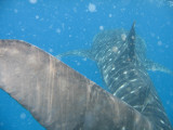 Whale Sharks in Mozambique