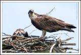 _MG_1787 osprey wf.jpg