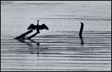 _P8X3674 cormorant cwf.jpg