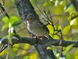 Field Sparrow 5166