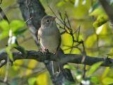 Field Sparrow 5172