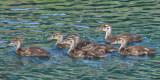ducklings2113.jpg