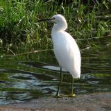 egret-snowy2761.jpg