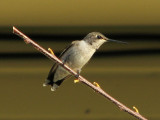 hummingbird2553.jpg