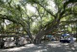 World's Largest Banyan Tree