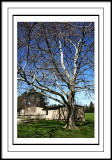 apr 18 birch tree
