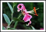 july 17 lily