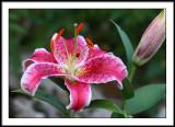 july 17 lily 6