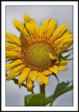 aug 12 sunflower