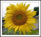 aug 19 sunflower