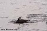 Pacific White-sided Dolphin (Lagenorhynchus obliquides)