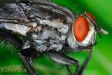 Tachinidae (parasitic fly)