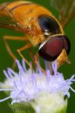 Hoverfly (Asarkina sp)