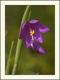 Satin-flower