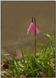 Pink Fawn Lily