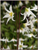 Fawn Lilies