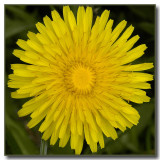 Taraxacum officinale (yesterday)