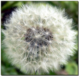 Taraxacum officinale (today)