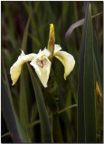 Wild Yellow Iris