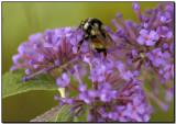 Buddleja  & Bee