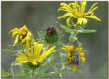Curly-cup Gumweed and Moth