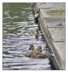 Ducks at 100mm f2 #1