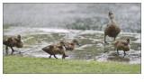 Ducks at 100mm f2 #2