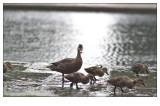 Ducks at 100mm f2 #3