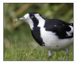 Peewitt, Juvenile female