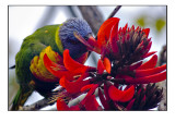 rainbow lorikeet in flame tree on UWA grounds