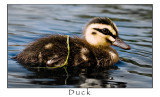 A Duck... maybe even the same duck..