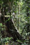 rainforest buttress