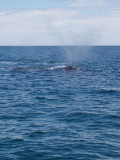 Right Whales at Peninsula Valdes - blowing!