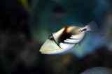 Picaso triggerfish (baby)