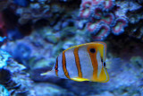 Copperbanded butterflyfish