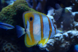 Copperbanded butterfl fish