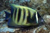 Sixbabded angelfish