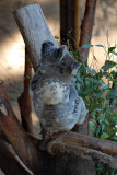 Koala with baby on back