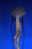 Purple banded sea jelly