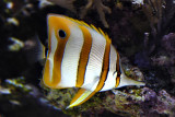 Copperbanded butterfllyfish