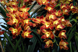 Cymbidium  Wallacia 'Burnt Orange'