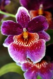 Miltoniopsis or pansy orchid