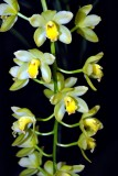 Cymbidium Lemon Drop