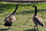 Spatting canadian geese