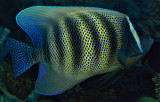 6 banded angelfish